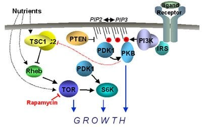 IGF 1 / Insulin-like Growth Factor 1 (somatomadin C)