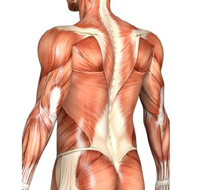 Muscle Fiber Hypertrophy -vs- Hyperplasia